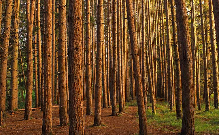 Austin-T.-Blakeslee-Natural-Area-Red-Pine-Plantation