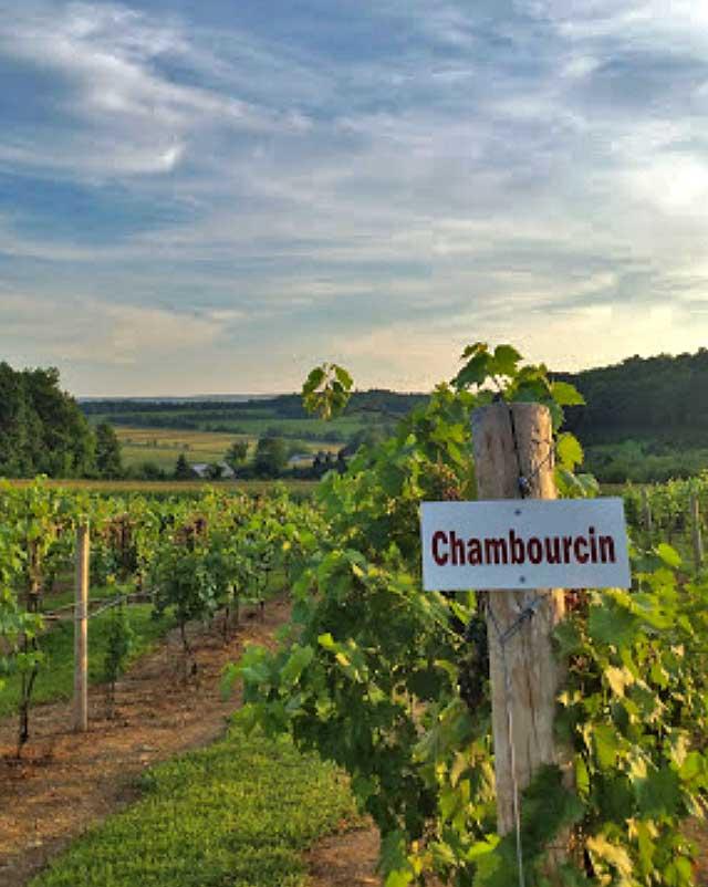 vineyard row of grapes
