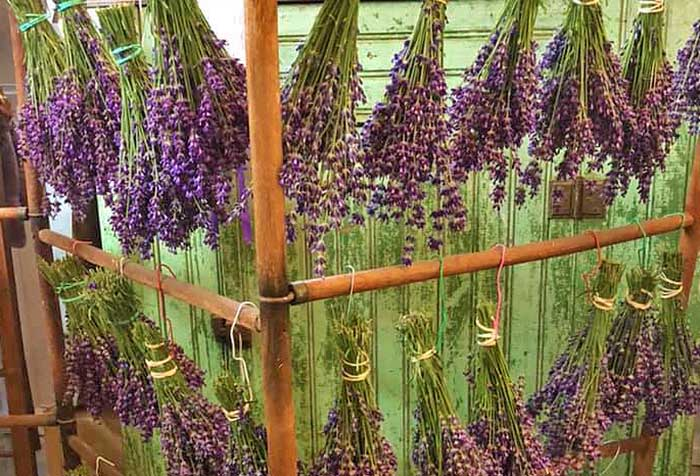 lavender bunches hanging on a rock