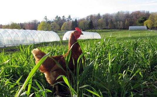 apple ridge farm chicken in field