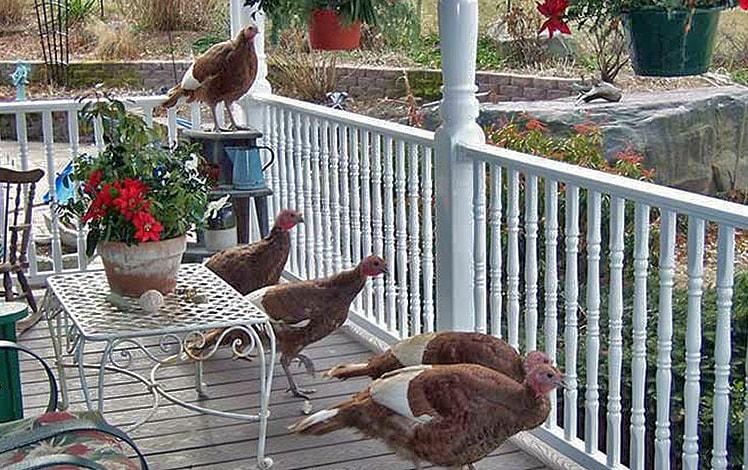 turkeys on the farm house porch
