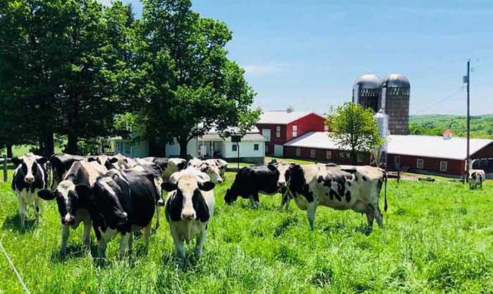 calkins-creamery-happy-cows-and-barns