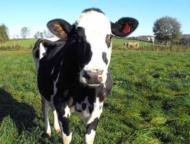 creamworks-creamery-waymart-cow-in-field