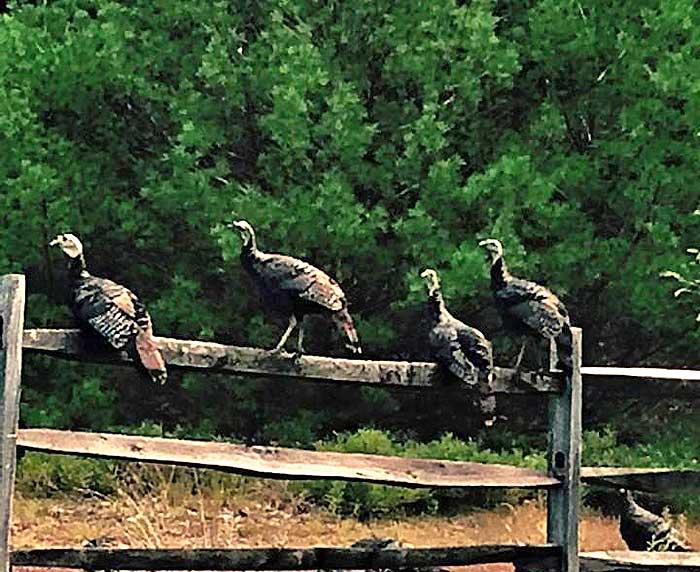 fairview-lake-mini-golf-turkeys-on-a-fence