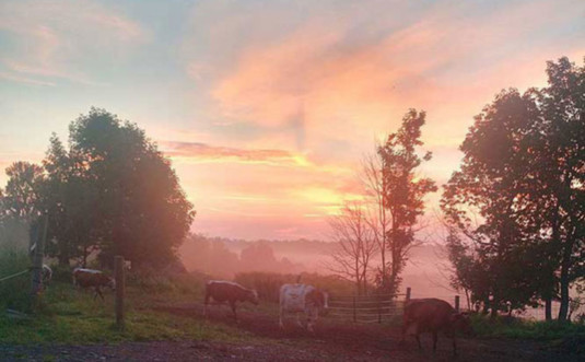 hardler-farms-cows