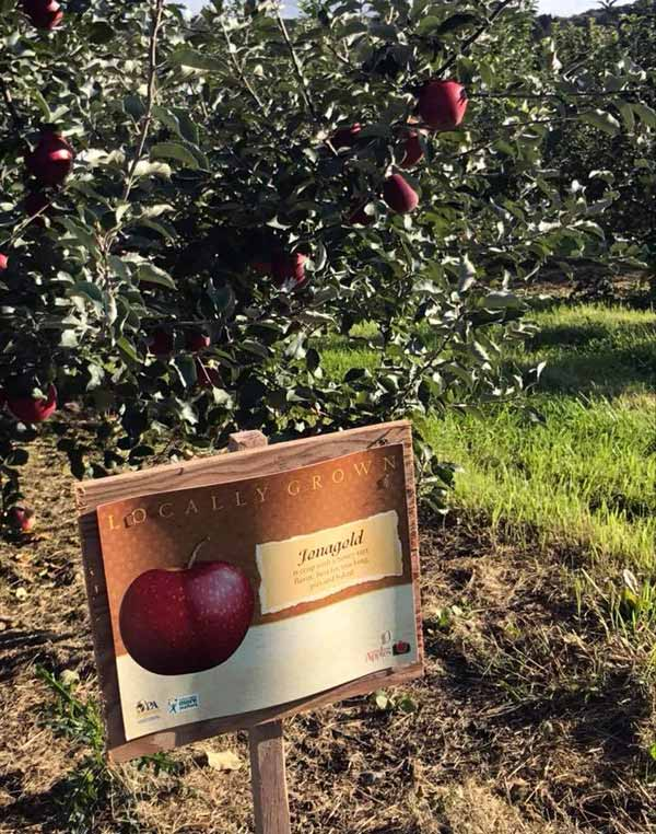 heckman-orchards-locally-grown-jonas-gold-apples-sign-and-tree
