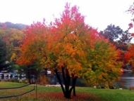 lake-harmony-inn-autumn-tree-on-the-lakeshore