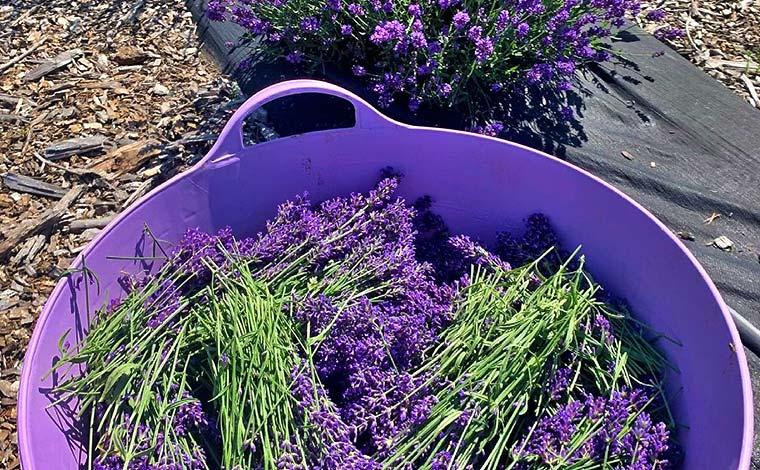 bowl of cut lavender