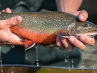 beautiful rainbow trout with water dripping