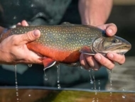 the-villages-of-barrett-paradise brook trout