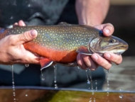 beautiful brook trout with water dripping from it